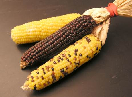 Corn_3different_types